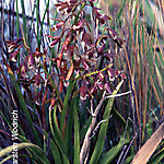 Acrolophia capensis by Karsten Wodrich