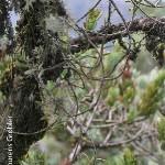 Angraecum conchiferum by Lourens Grobler