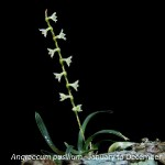 Angraecum pusillum by Martin Rautenbach