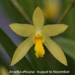 Ansellia africana by Lourens Grobler