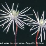 Bartholina burmanniana