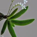 Bolusiella maudiae by Peter Ashton