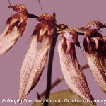 Bulbophyllum longiflorum by Unknown