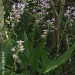 Calanthe sylvatica by Lourens Grobler