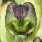 Corycium dracomontanum