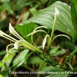 Corymborkis corymbis by Martin Rautenbach