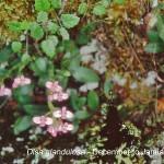 Disa glandulosa by Karsten Wodrich
