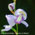 Disa graminifolia by Warren Mayers