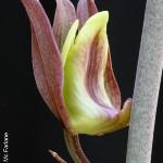 Eulophia hereroensis by Duncan McFarlane
