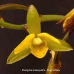 Eulophia inaequalis by Duncan McFarlane