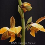 Eulophia streptopetala by Duncan McFarlane