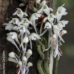 Margelliantha caffra by Lourens Grobler