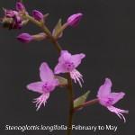 longifolia