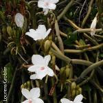 Vanilla roscheri by Lourens Grobler